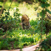 Wild leopard on grass
