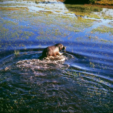 Hippo in the water hole