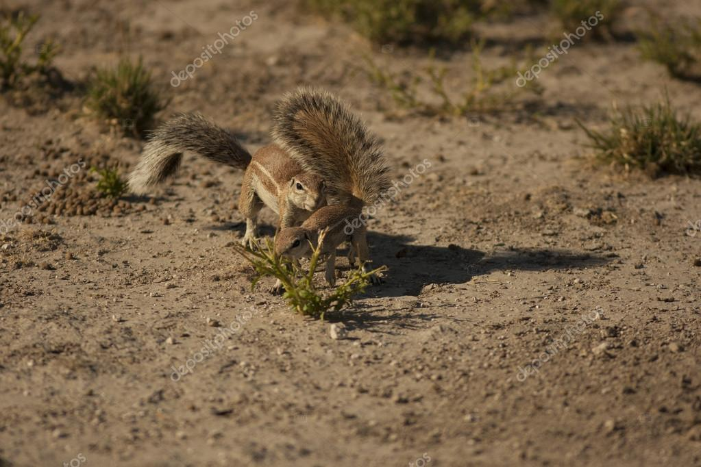 Ground squirrels playing on sand