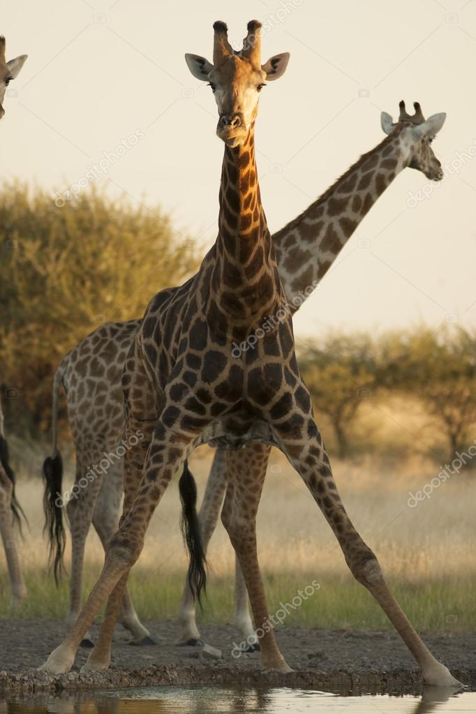 Giraffes drinks water