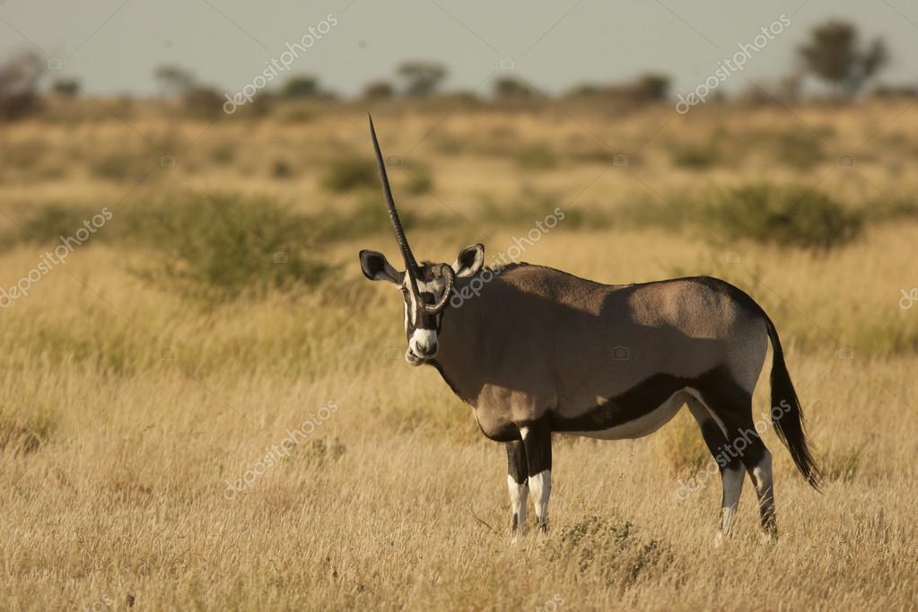 Gemsbok antelope on meadow