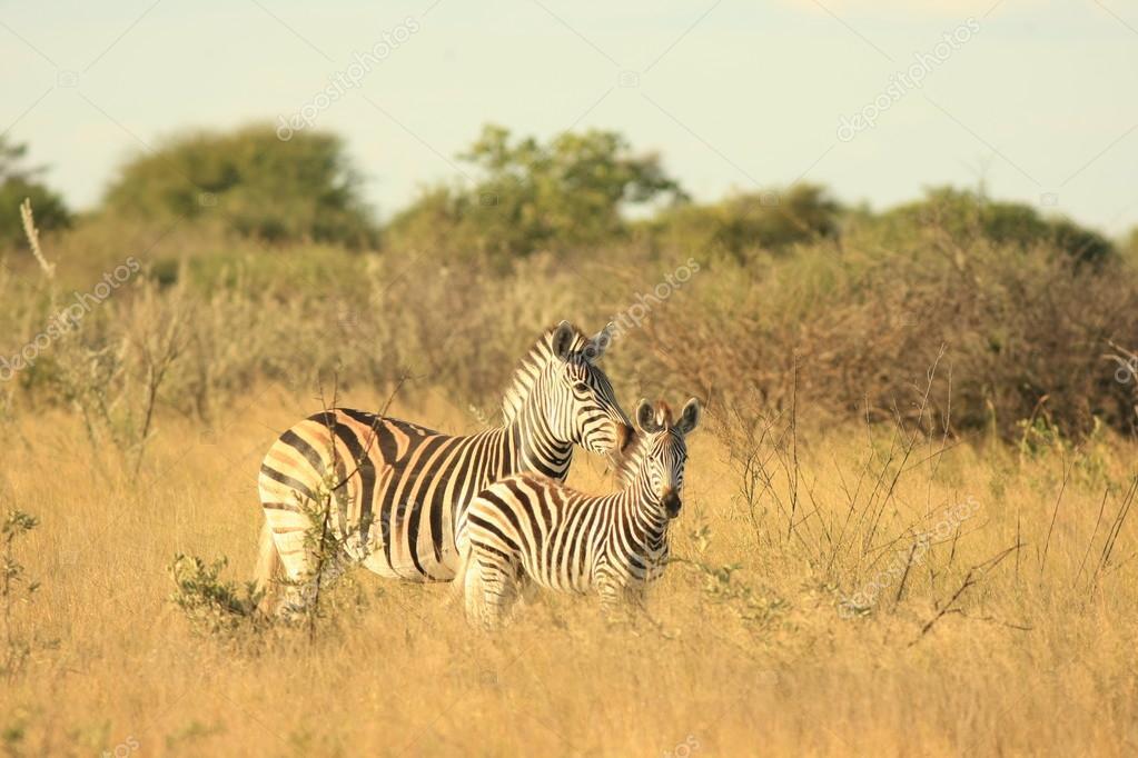 Two wild Zebra
