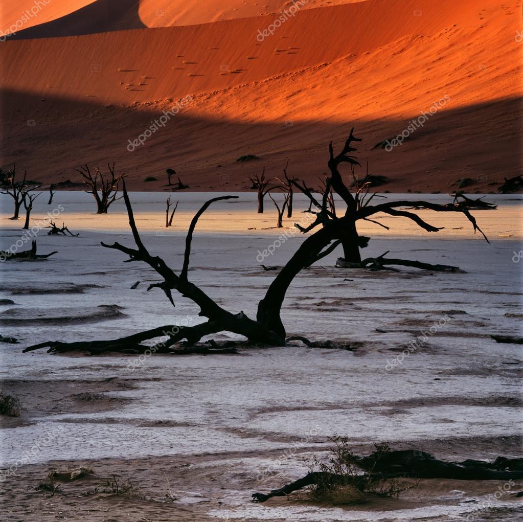Dry trees on sand dunes