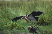 Marabu s otevřenými křídly na bažině