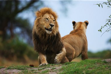 Beautiful Male and Female Lions