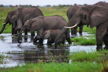 Elephants herd on savanna.