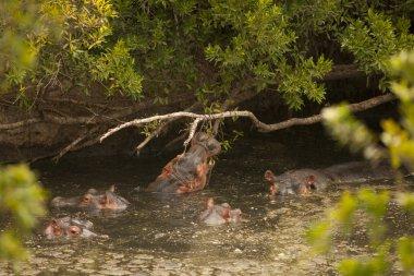 Wild hippopotamus in the water