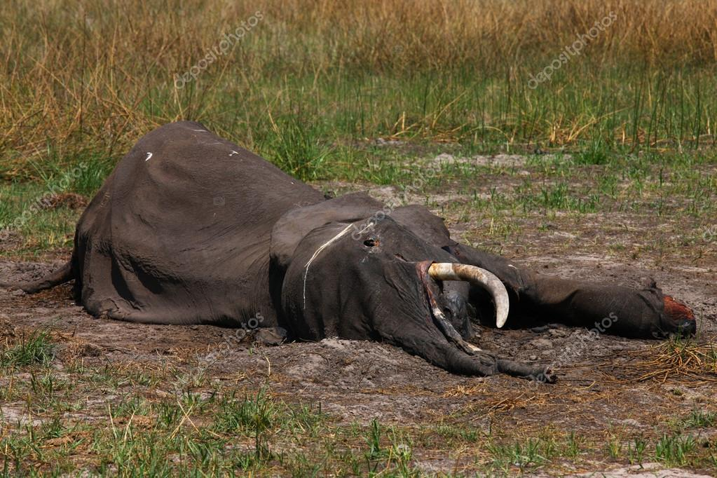 One dead elephant