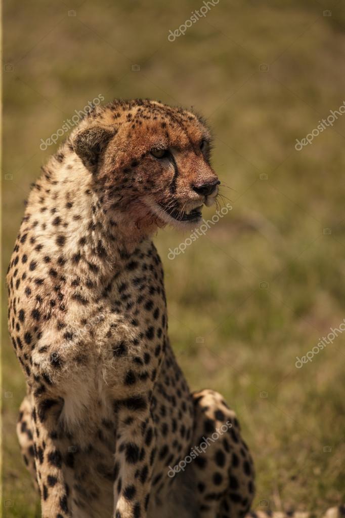 Portrait of Sitting cheetah