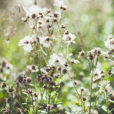 White fuzzy wild flowers burdock with flying seeds