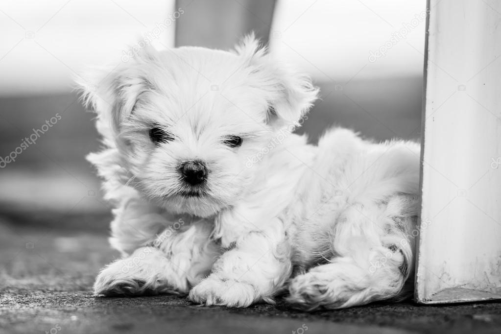 Puppy Maltese on black and white photo