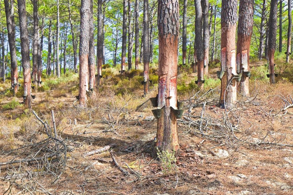 Extraction of natural resin from pine tree trunks
