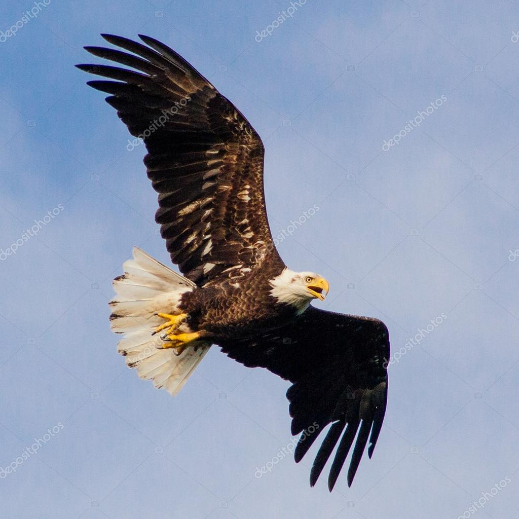 American Bald Eagel