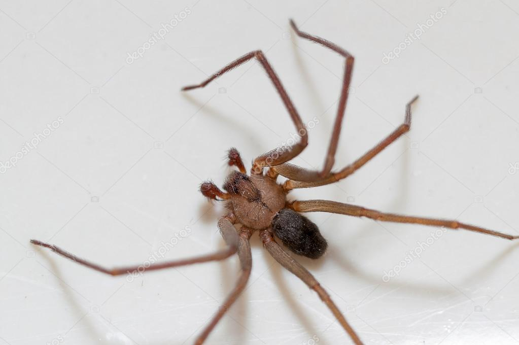brown recluse images - HD1200×798