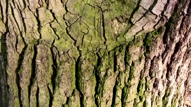 Textural oak bark with green moss and a hollow in which the squirrel hid the acorns for the winter