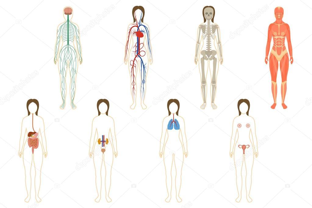 Conjunto de sistemas y órganos de la mujer — Vector de stock ...