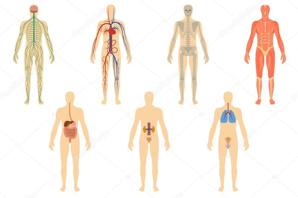 Conjunto de órganos humanos y sistemas — Archivo Imágenes ...