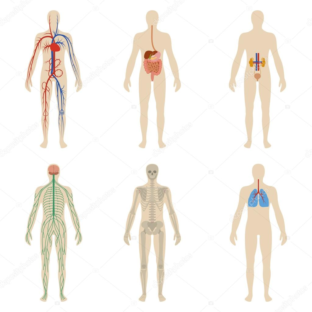 Satz von menschlichen Organen und Systemen für die Vitalität des ...