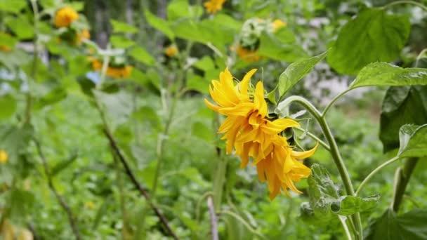 Slunečnice - slunečnice, jsou nádherný