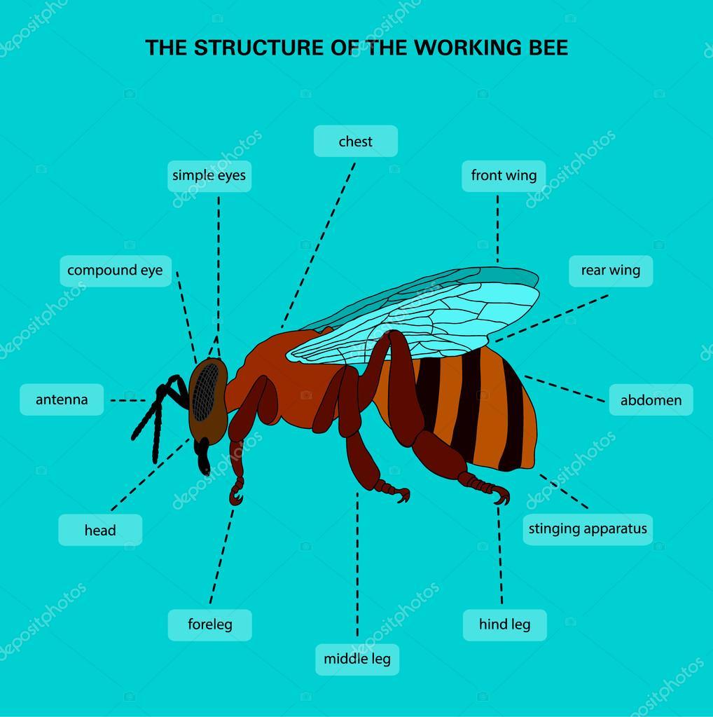La estructura de la abeja trabajo — Vector de stock © RybkaAnn #69536823