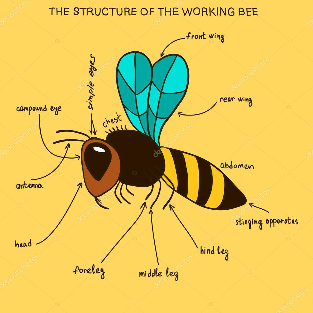 The structure of the working bee (doodle) — Archivo Imágenes ...