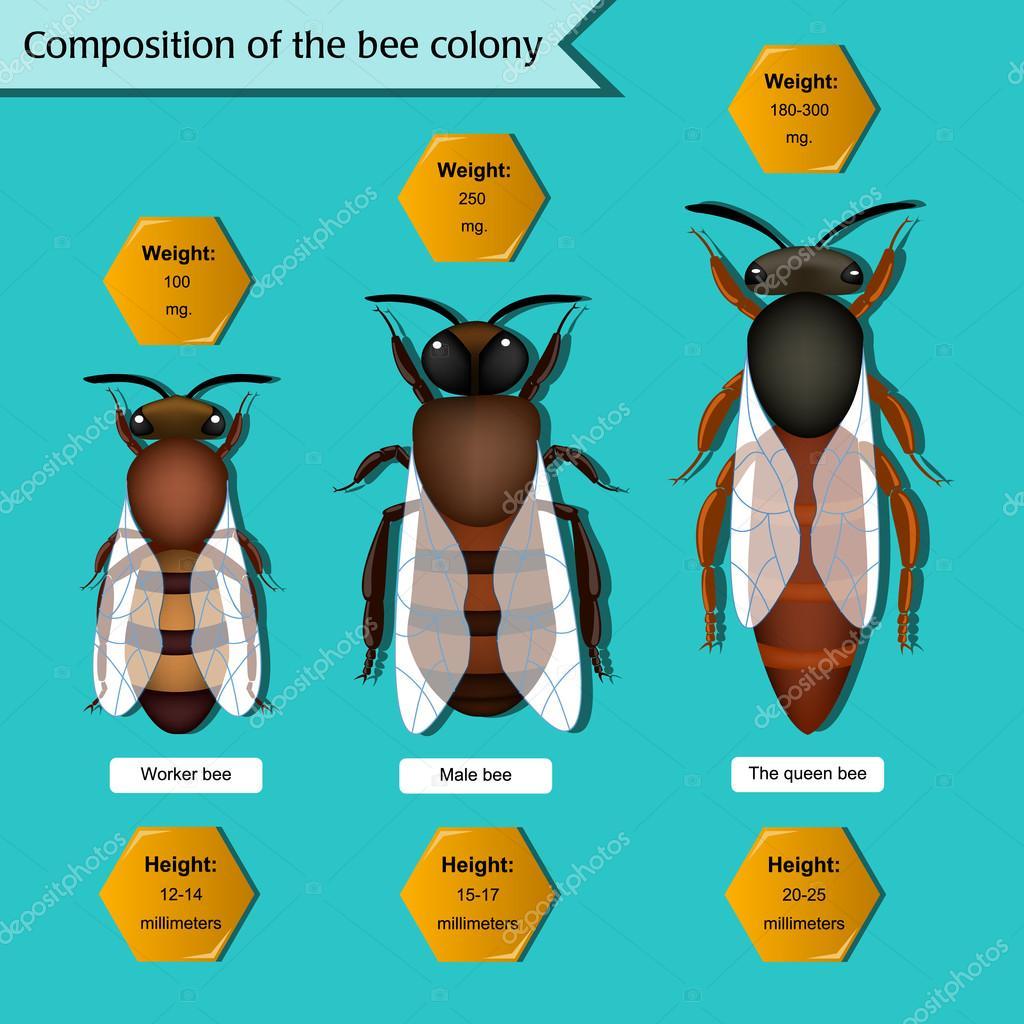 afiche informativo sobre la composición de la colonia de abejas ...