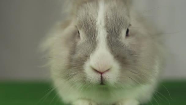 Šedý králík detail