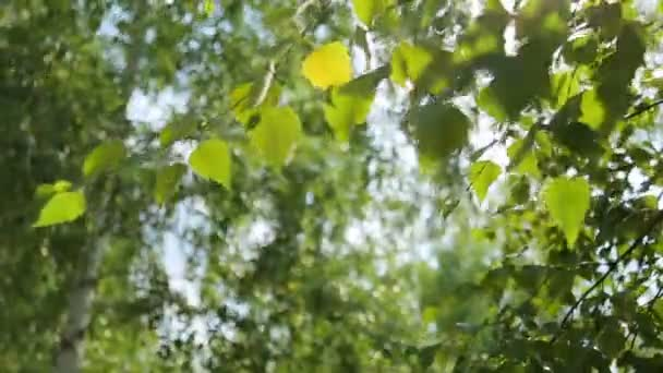 Gyönyörű nyír ágak, levelek