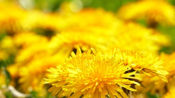 Pampeliška pole žlutý květ
