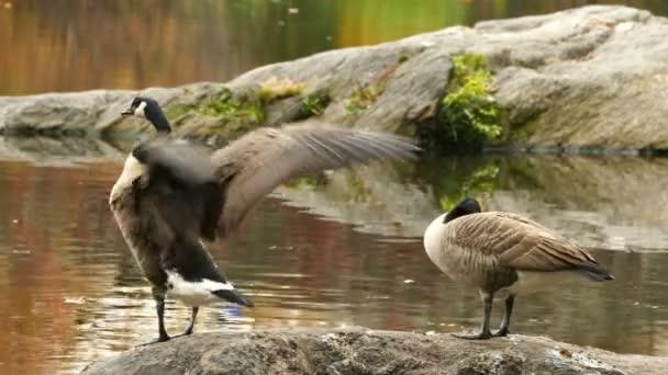 Ducks in Central Park. Autumn