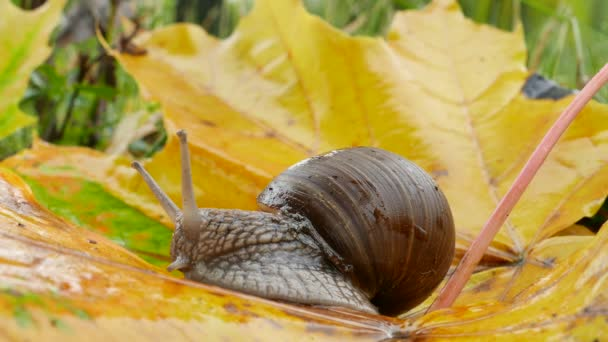 snail on yellow maple leaves