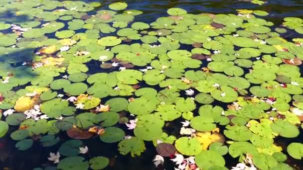 listy leknínů v rybníku