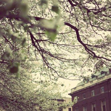 New York City and cherry blossom