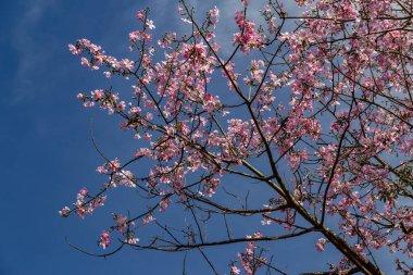 Ceiba speciosa;   Tree known as