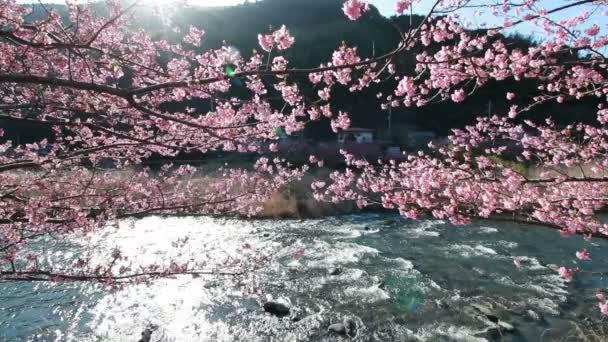 růžový třešňového květu, kawazu třešňový strom – Japonsko