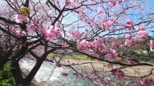 Rózsaszín cseresznyevirág, Kawazu cseresznye fa, shizuoka, Japán