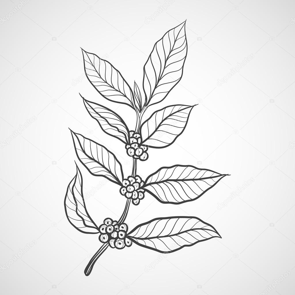 Coffee Plant With Coffee Leaf Stock Vector C Ilovecoffeedesign