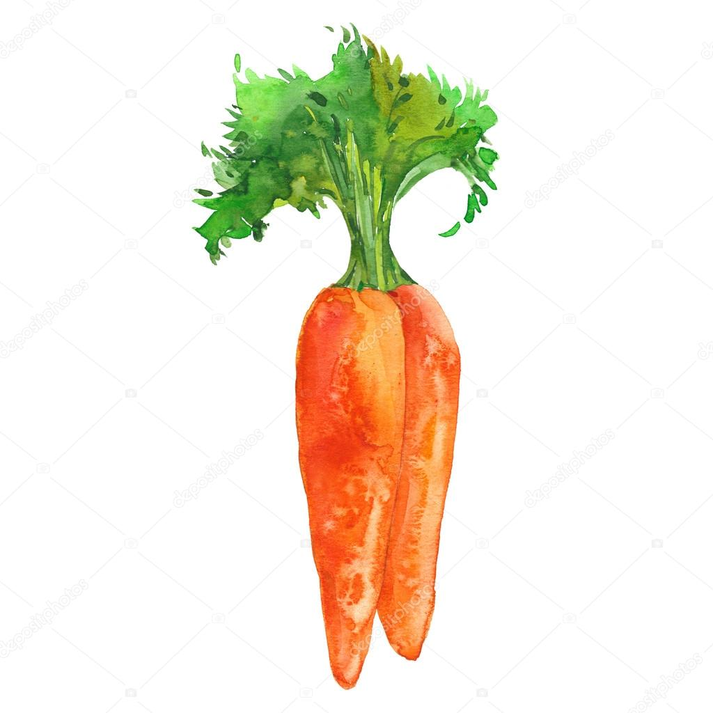 Two Watercolor Carrots Stock Photo C Dvo 98779038 Se le describe como una persona alta, de pelo rojizo y con una constitución de hierro. https depositphotos com 98779038 stock photo two watercolor carrots html