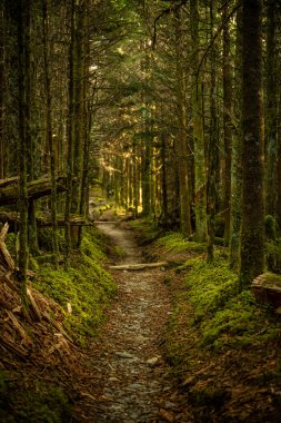 Warm Green Light Fills Dense Forest along the Sugarland trail in the Great Smoky Mountains National park
