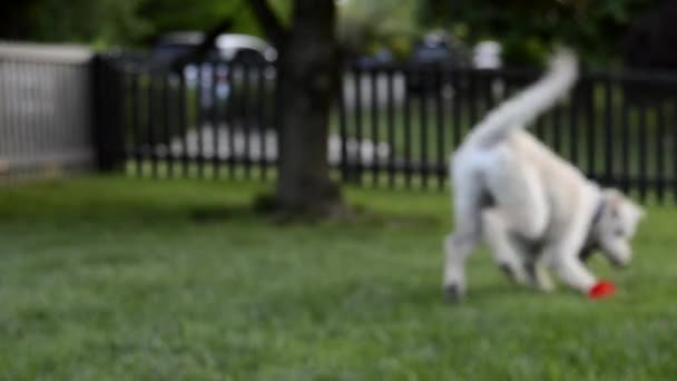 Dog Fetches ball and walks into focus
