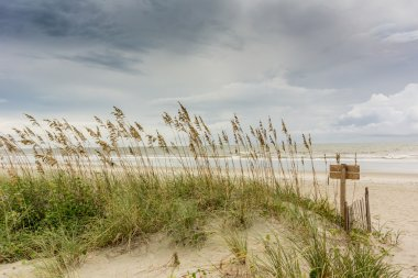Sea Oats on Dune