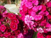 Růžový květ s motýl
