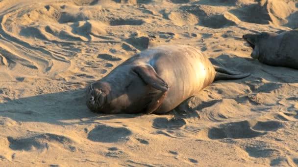 Lachtani na pláži v Kalifornii