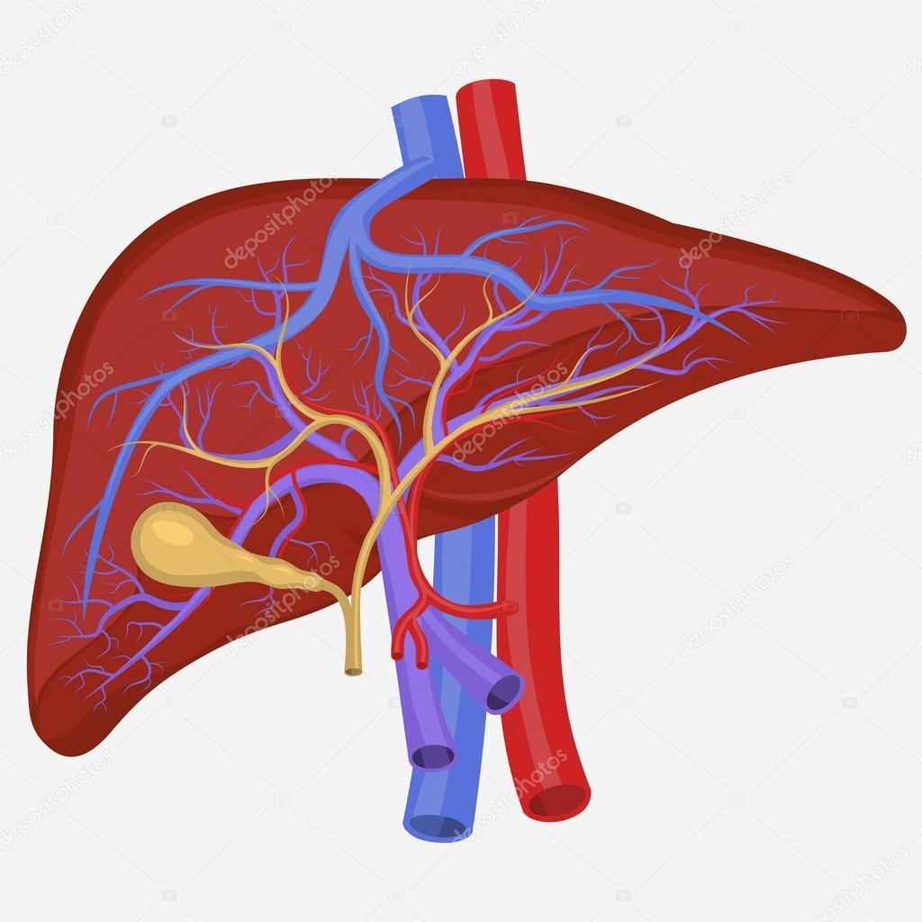Hígado humano interno — Vector de stock © ambassador80 #117249436