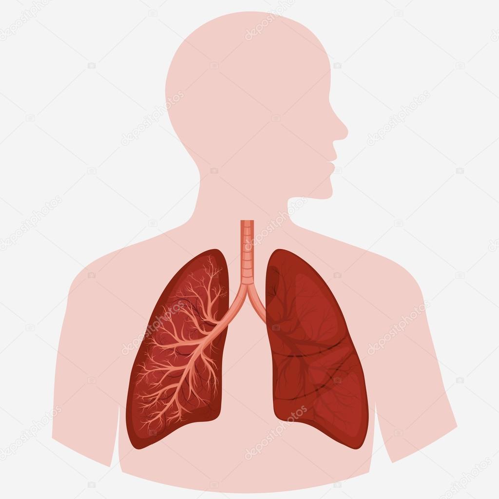 Human Lung Anatomy Diagram Stock Vector Ambassador80 117613520