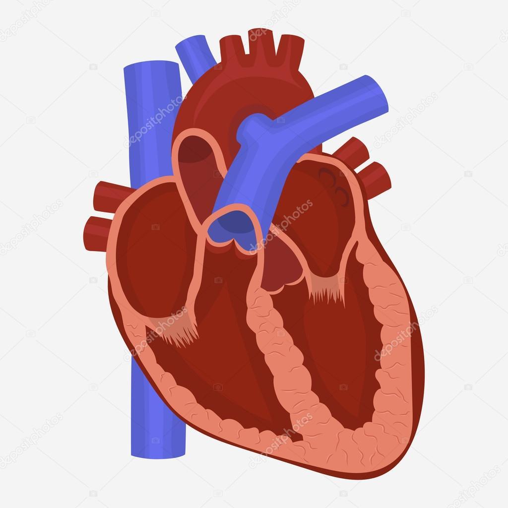 Herz-Anatomie-Vektor — Stockvektor © ambassador80 #119387682