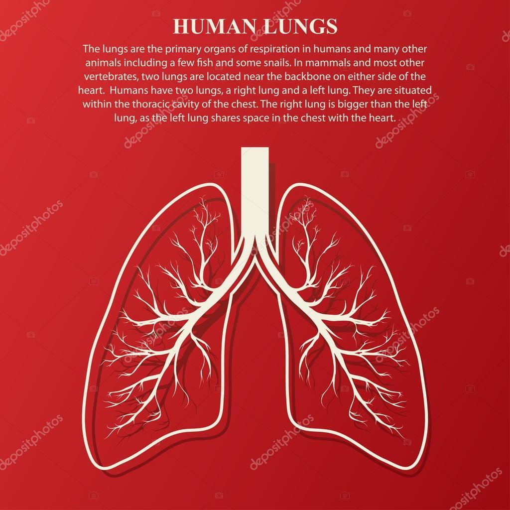 Ilustración de anatomía de pulmón humano — Archivo Imágenes ...