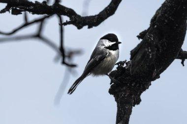 Black-capped Chickadee (Poecile atricapillus) Bird