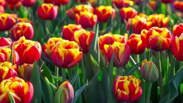 tulipány farmu v Nizozemsku