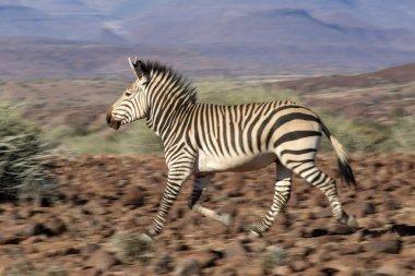 Zebra in Damaraland